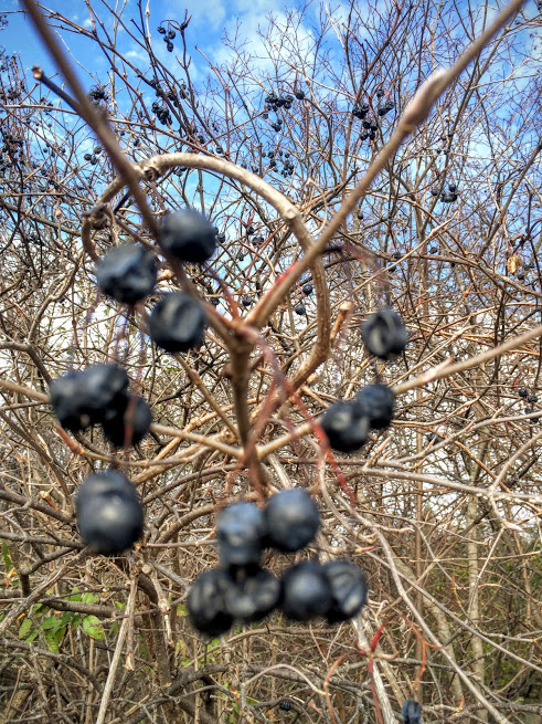 Unfocused picture of the berries on the plant. It's surprisingly hard to get the phone to focus on small things with lots of twiggy action behind them!